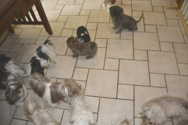 A group of Adult Shih Tzu dogs at home at Miracle Shih Tzu Pup.  These dogs are not for sale.